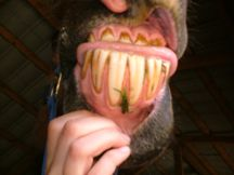 Horse Teeth Extraction
