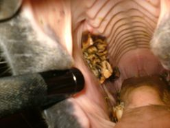Horse Teeth Extraction 4
